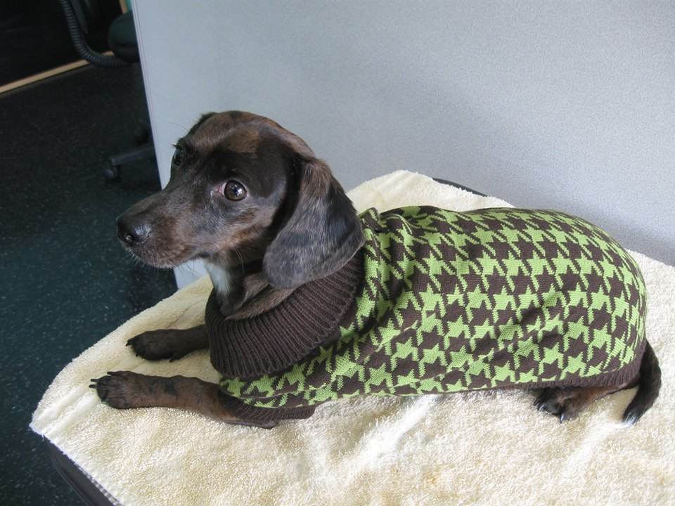 Dog wearing a sweater at Paws 'n Claws in Erie, PA.
