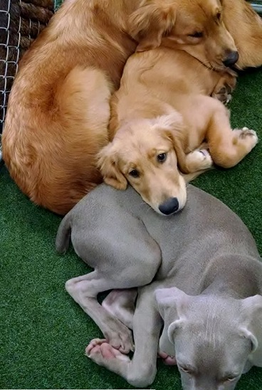 Dogs cuddling with each other after playing at Paws 'n Claws PlayCare in Erie, PA.