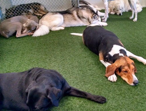 Group of dogs sleeping at Paws 'n Claws in Erie, PA.