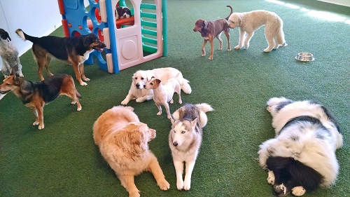 Group of dogs in the PlayCare at Paws 'n Claws in Erie, PA.